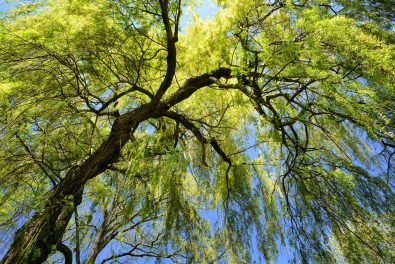 Worm's-eye view of a fresh green weeping willow with spring's clear blue sky in the background